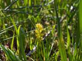 キンコウカの花