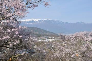 中央アルプスと桜