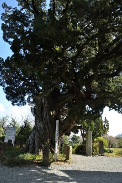 ビャクシンの木