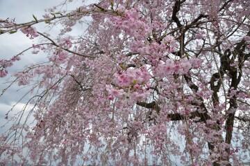シダレ八重桜