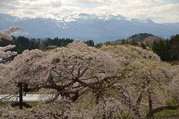 中島の地蔵桜