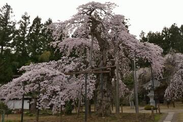 愛蔵寺の護摩桜