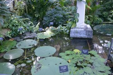 ウォーターガーデンの熱帯睡蓮